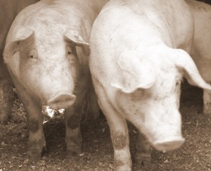 schlacht schwein kaufen